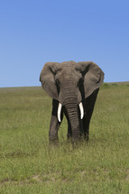 Lone elephant in a field of green grass.