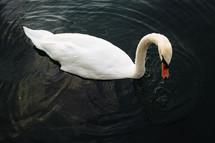 swan on lake Eola