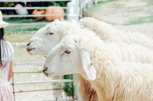 sheep at a petting zoo