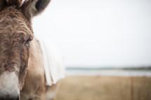 donkey for Palm Sunday