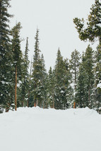Snowfall in an evergreen forest.