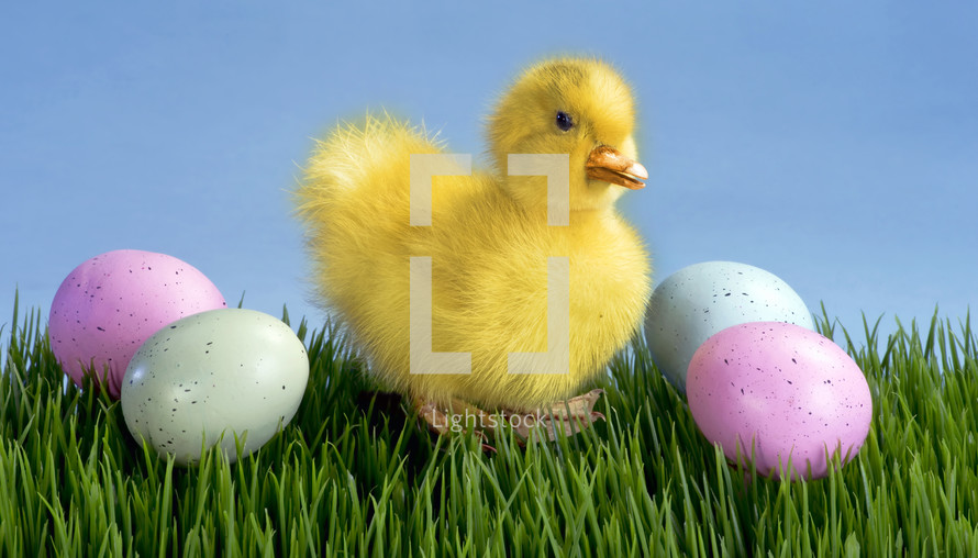 duckling and Easter eggs on Green grass