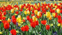 field of spring tulips