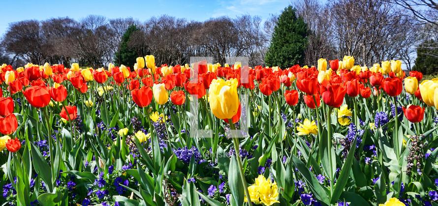 garden of spring tulips