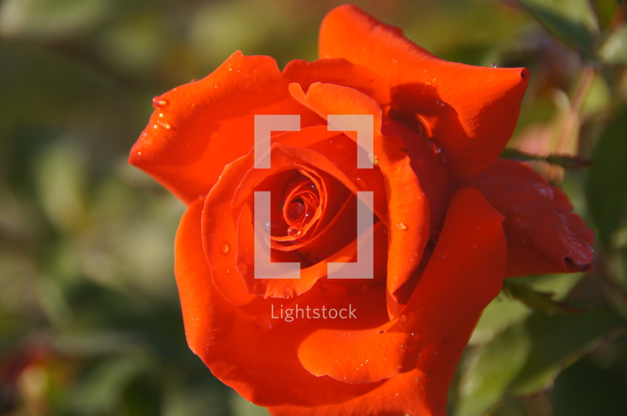 red rose in bloom