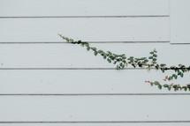 vine growing on house siding