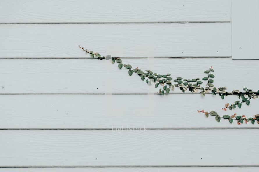 vine growing on house siding