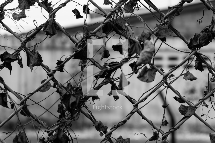 vines on a chain link fence