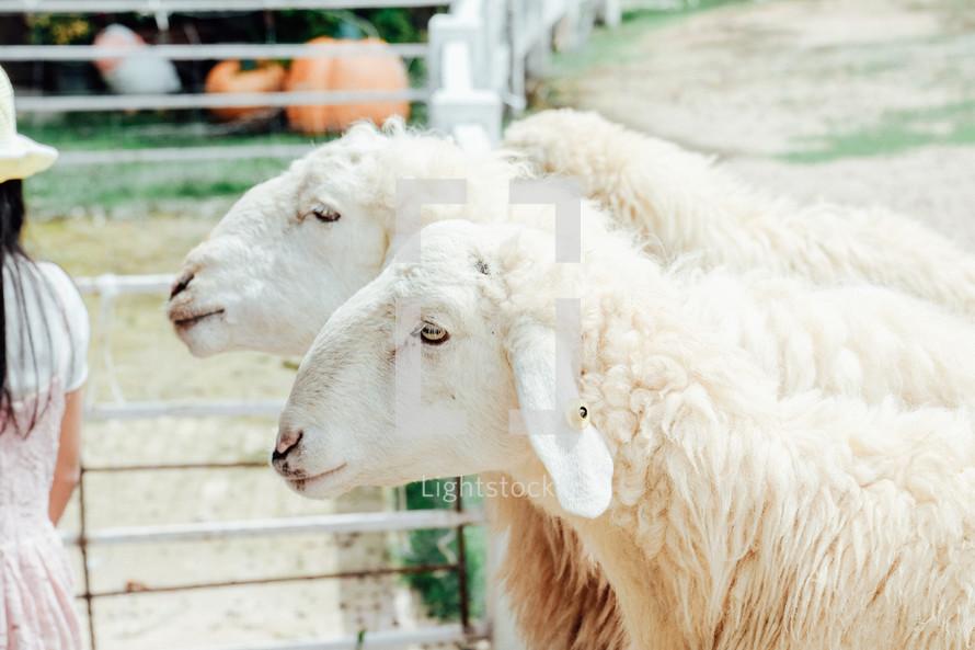 sheep at a petting zoo