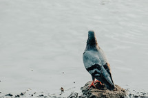 pigeon standing on a rock