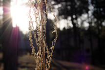 Dead plant stalk in the sunlight.