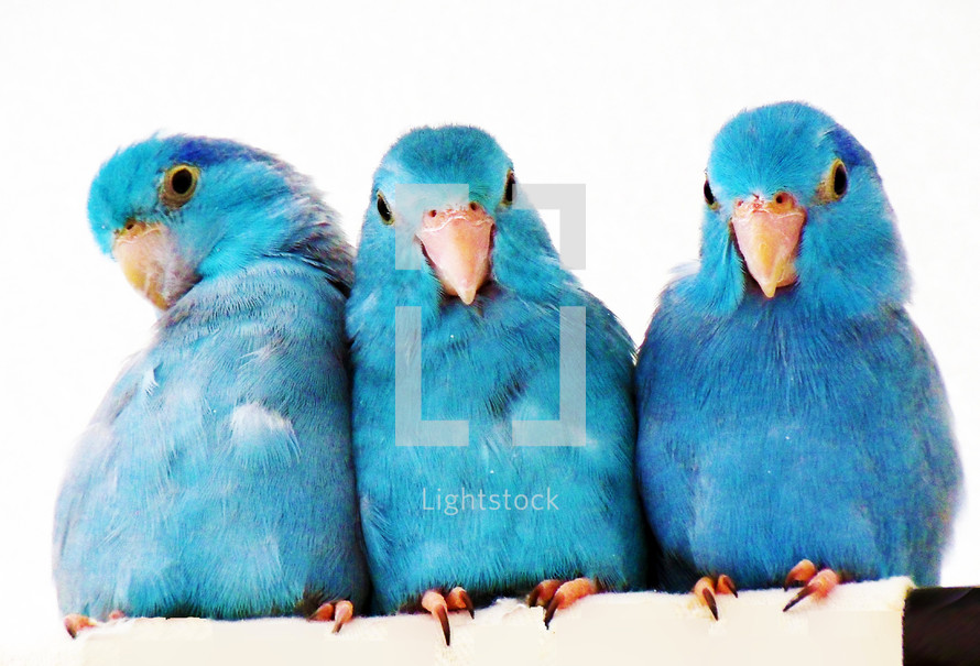 A  group of Pacific Blue Parrotlet brothers and sisters sit together in a row against a white background relaxing together. These birds were born at the same time so bond since birth and stay best friends for life.