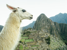 Llama near an ancient village in the mountains.