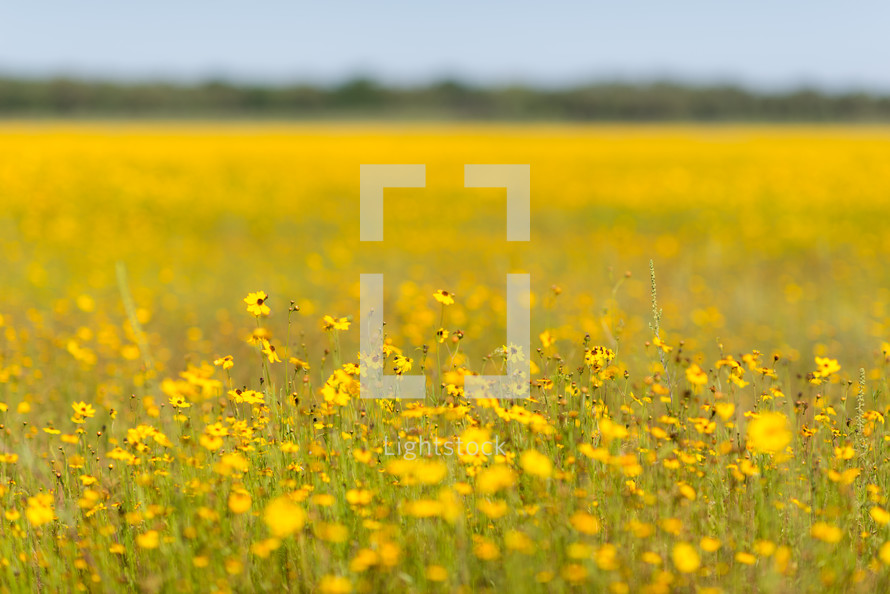 field of yellow wildflowers