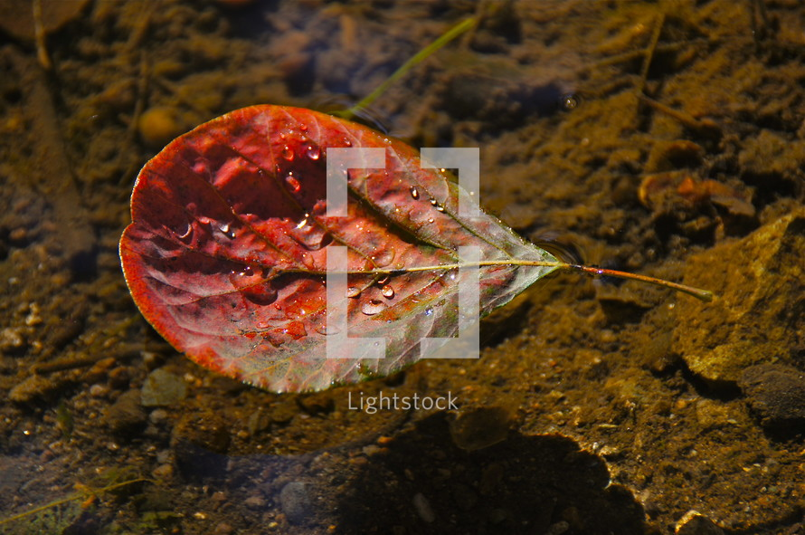 fall leaf with dew drops floating in mountain stream. Autumn, fall, season, harvest, red, water.