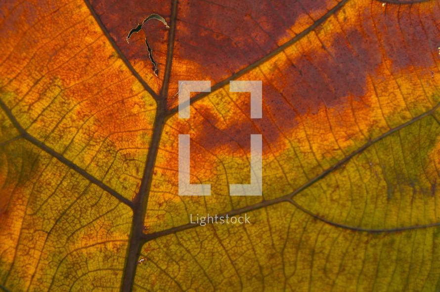 Fall leaf vein. Autumn, orange.