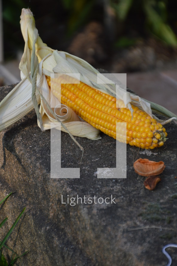 harvested corncob. 