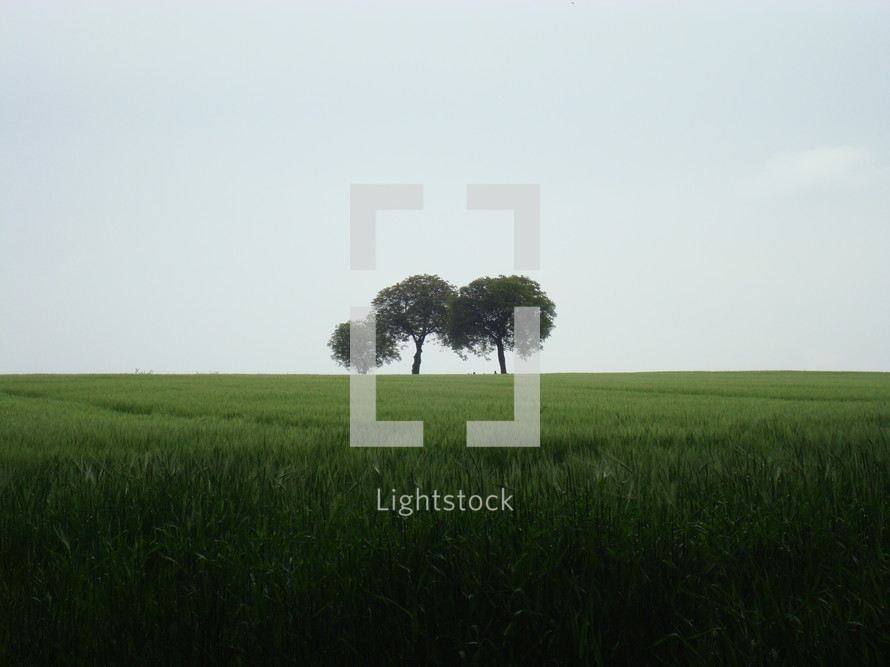 three lonesome trees in rainy weather,