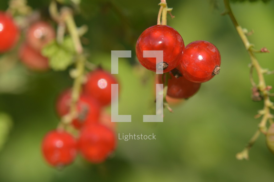 redcurrants in the bush, 