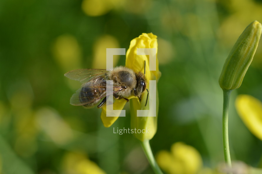 honey bee pollinating a yellow flower and collecting nectar for honey in springtime