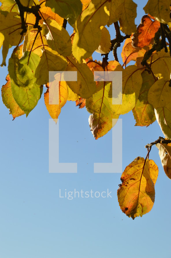 colorful autumn leaves in front of blue sky