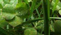 wet grass and clover