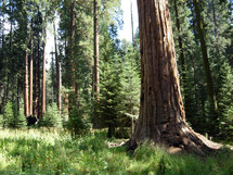 The Deep trees and woods of the Sequoia National Forest with towering trees and thick canopy of grass, ferns and woods located in the heart of Central California.