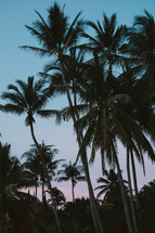 Palm trees at dusk.
