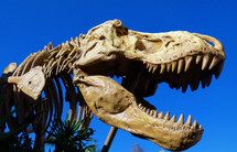 A fossilized remain of Dinosaur bones of a T-Rex dinosaur proving that these large creations did once exist on the earth. Large dragons are mentioned in the bible in quite a few passages. We do not know if the Dinosaurs were wiped out in Genesis when Satan and His fallen angels fell from Heaven to Earth or if they were eventually wiped out by man or the flood but we have proof that they did exist on the earth at one time.