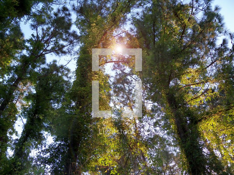 The sun glowing through the branches of a canopy of trees in a thick forest