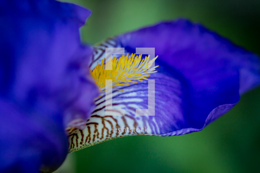 An up-close, macro photograph of the beard of a purple iris.
