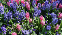 purple and pink Hyacinth spring flowers