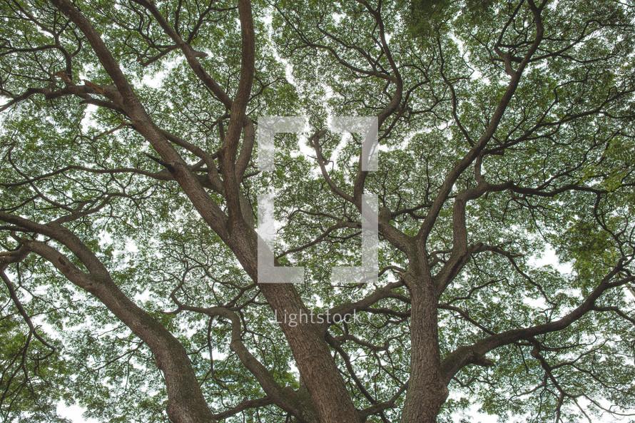 A magnificent tree