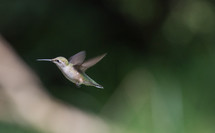 hummingbird, fly