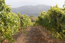 Grape vineyard