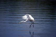 white heron fishing