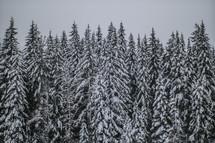 Snowfall on a forest of fir trees.