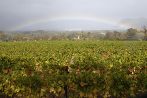 Rainbow over field of grape vines