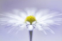 a white daisy against a white background