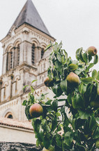 pears on a tree and a church