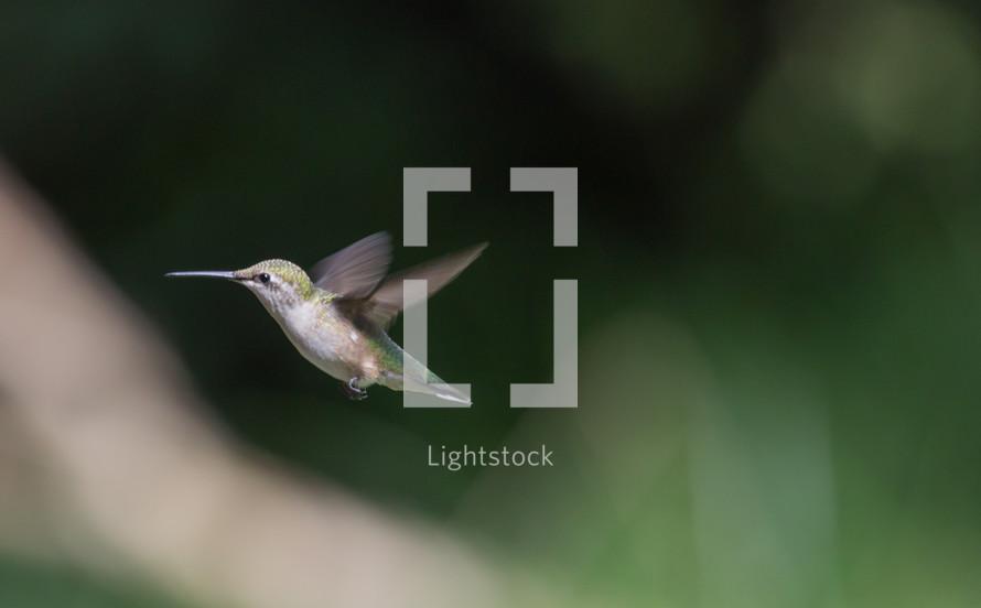 hummingbird, fly