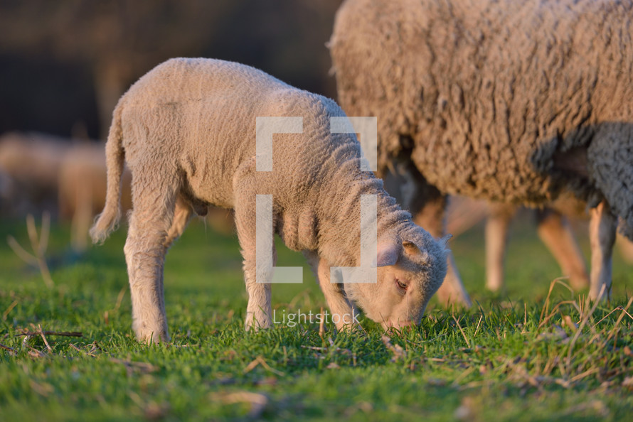 lambs and sheep in a pasture