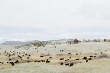 cattle grazing on a hillside