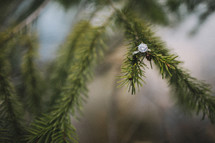 engagement ring on a pine branch