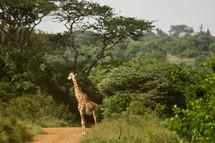 Giraffe standing on dirt road