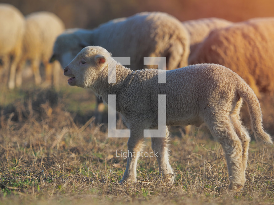 lambs and sheep in a field