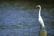 white crane standing on wooden post overlooking a river or lake