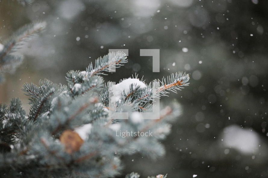 snow falling on a pine branch