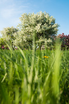 green grass and spring trees