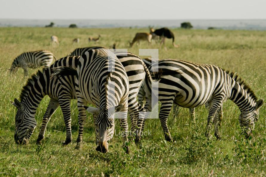 Zebra's grazing